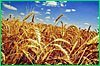 На страхование сельскохозяйственных посевов в этом году Правительство края направит 2,5 млн рублей