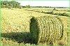 Сельскохозяйственные организации края приступили к заготовке грубых кормов