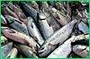 Вылов тихоокеанских лососей в крае превысил первоначальные прогнозы