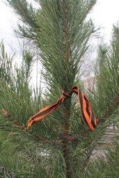 70 сосен высадили в Хабаровске в рамках национального проекта «Лес Победы»