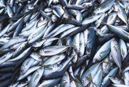 Рыбопромышленники края продолжают наращивать объемы вылова
