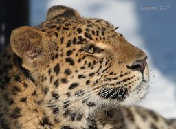 В хабаровском зоосаде им. Сысоева новый питомец - дальневосточный леопард