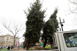 В Хабаровске на площади Ленина высадили 12 голубых елей