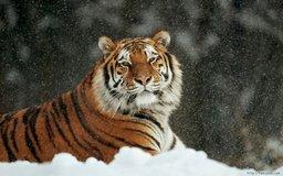 На Дальнем Востоке насчитали 540 тигров и 70 леопардов