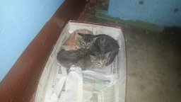 в хорошие руки котят - 2 мальчика , 2 девочки. Родились 11 мая . Обращаться по телефону: 89098789048...