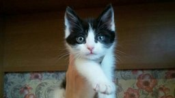в хорошие руки котёнка (мальчик). Милый, игрывый, добрый котёночек, к лотку...