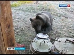 Небывалое нашествие медведей