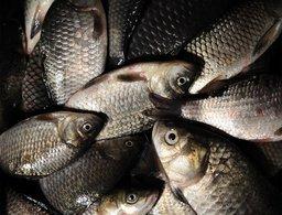 Масштабное исследование качества амурской рыбы проходит в Хабаровском крае