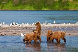 Как медведицы ловят рыбу и как этому обучают медвежат