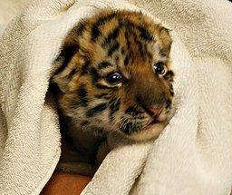 День амурского тигра и дальневосточного леопарда широко отметят в Хабаровском крае