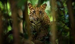 Россия и Северная Корея планируют проводить совместный мониторинг леопардов и тигров