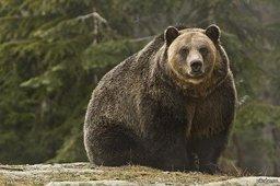 Сегодня ночью в Хабаровске опять видели медведя