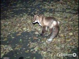 Ночью на улице Калинина водитель сбил домашнюю лисицу
