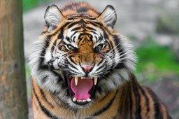 В Хабаровском крае охотник сам стал жертвой голодного тигра