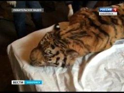 Краевая полиция и представители комитета охотничьего хозяйства края устанавливают обстоятельства роковой встречи человека с тигром в районе имени Лазо