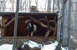 В Приморье козла привели на съедение амурскому тигру
