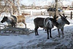 Какие проблемы сегодня у оленеводов Хабаровского края, -