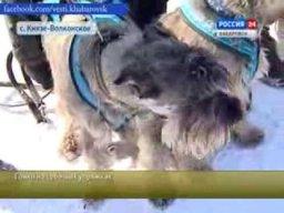 Гонки на собачьих упряжках устроят в Хабаровске