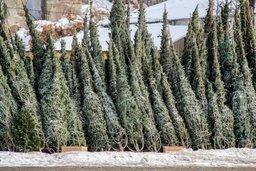 Хабаровчане все чаще выбирают искусственные новогодние ели вместо натуральных