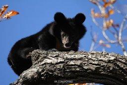 Реабилитация медвежат-сирот на юге Дальнего Востока