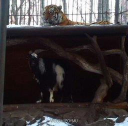Козёл Тимур выгнал тигра Амура из его убежища во время снегопада
