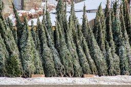 Во всех районах Хабаровска официально открылись точки продаж новогодних елей