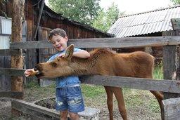 История маленького лосенка, которого охотоведы спасли от браконьеров