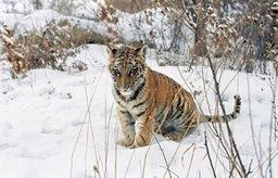Осиротевшего тигренка нашли в одном из сел Хасанского района