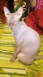 ќтдам лысого кота,в св¤зи с переездом
