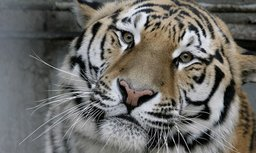 Амурский тигр напал на охотников во время загонной охоты в Надеждинском районе Приморья и ранил одного из них