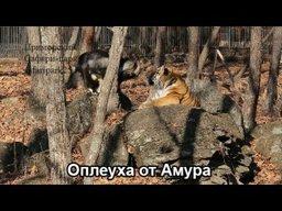 Тигр Амур напал на козла Тимура