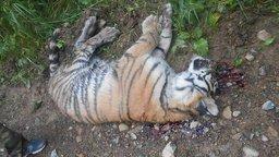 Житель Хабаровского края сознался в убийстве амурского тигрёнка