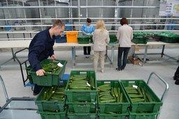 ѕервый урожай томатов из ¤понского тепличного комплекса поступит на прилавки кра¤ в апреле