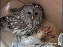 Хабаровские врачи спасли сову - птица ударилась о стекло приемного покоя после драки с сороками