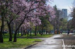 Набережную Амура раскрасила розовыми лепестками сахалинская вишня