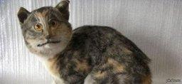 Двоих хабаровчан осудят за похищение породистого кота