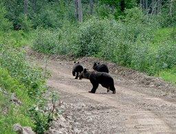 Гималайских медведей начали часто замечать в селе Бычиха под Хабаровском