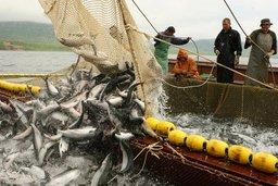 Вылов тихоокеанских лососей на Дальнем Востоке превысил 310 тыс