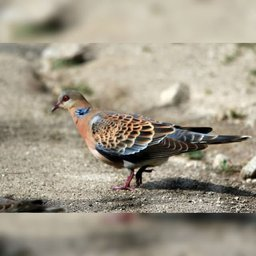 Необычные голуби появились в Хабаровске